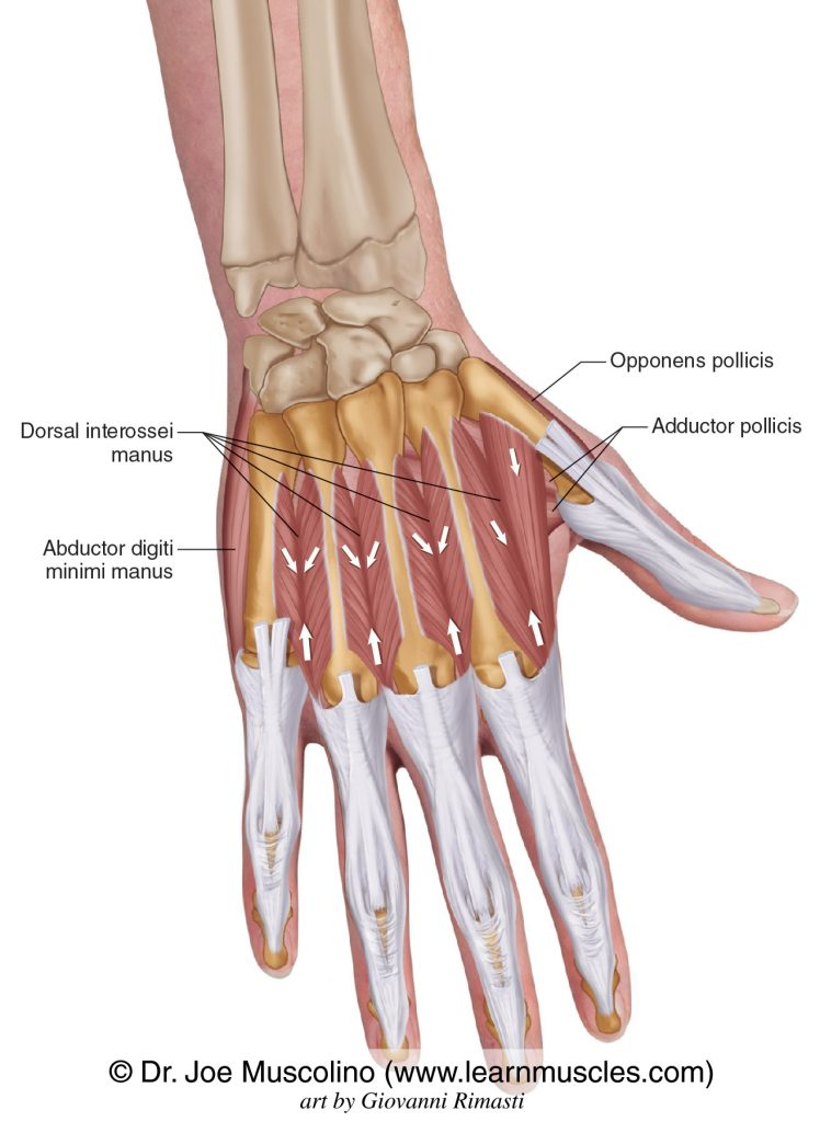 The dorsal interossei manus intrinsic muscles of the hand. The adductor pollicis, opponens pollicis, and abductor digiti minimi manus have been ghosted in.