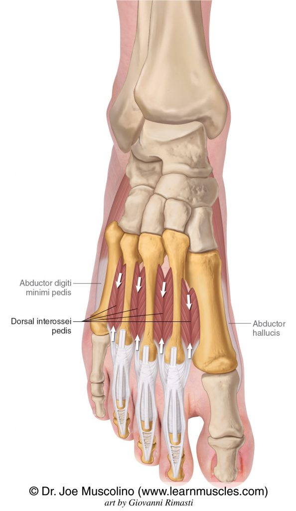 The dorsal interossei pedis of the foot are seen. The abductor hallucis and abductor digiti minimi have been ghosted in.
