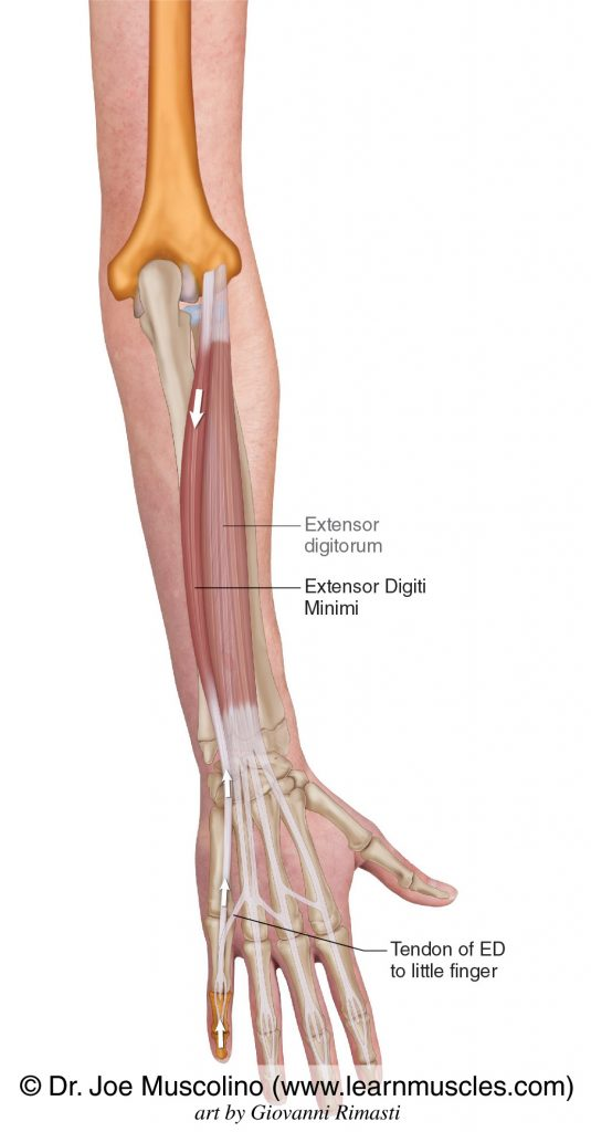 The extensor digiti minimi is seen. The extensor digitorum has been ghosted in.
