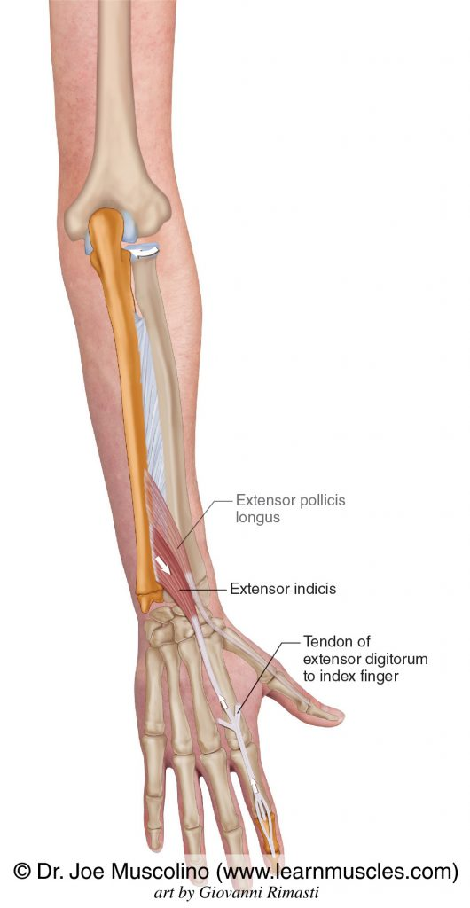 Extensor indicis of the deep posterior compartment of the forearm is seen. The extensor pollicis longus is ghosted in.