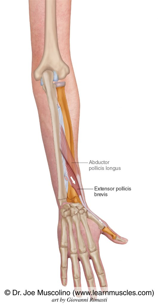 The extensor pollicis brevis is seen. The abductor pollicis longus has been ghosted in.