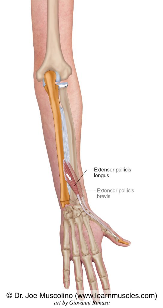 The extensor pollicis longus is seen. The extensor pollicis brevis has been ghosted in.