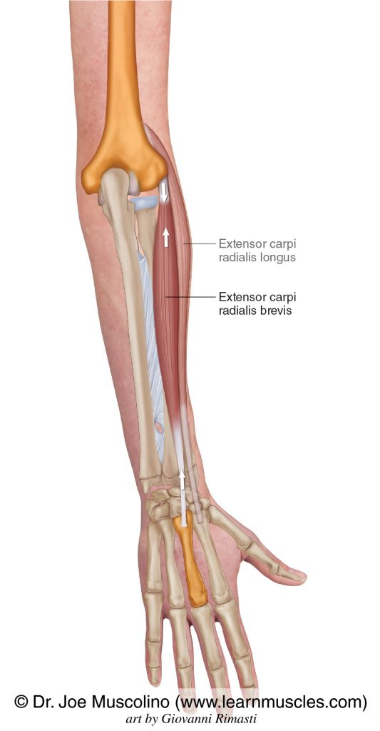 The extensor carpi radialis brevis is seen. The extensor carpi radialis longus has been ghosted in.
