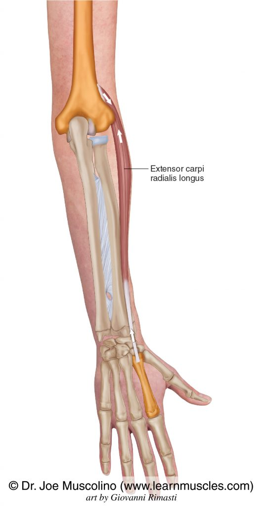 The extensor carpi radialis longus on the right side of the body.