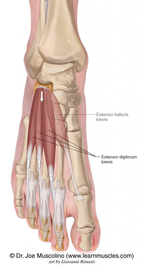 The extensor digitorum brevis is seen. The extensor hallucis brevis has been ghosted in.