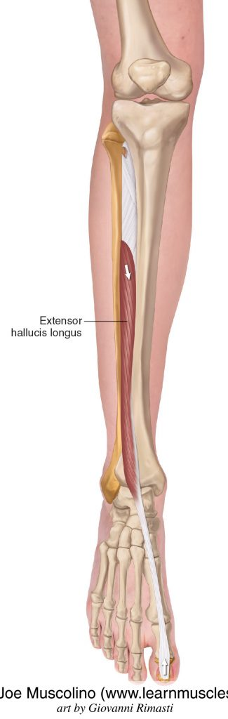 The extensor hallucis longus of the anterior compartment of the (lower) leg.