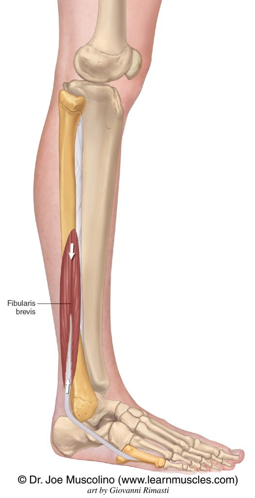 The fibularis brevis of the lateral compartment of the leg.