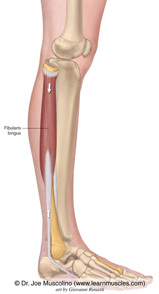 The fibularis longus muscle of the lateral compartment of the (lower) leg.