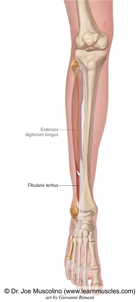 The fibularis tertius muscle of the anterior compartment of the (lower) leg.