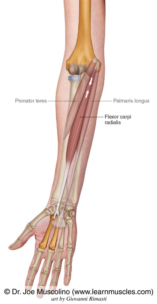 The flexor carpi radialis of the wrist flexor group is seen. The palmaris longus and pronator teres have been ghosted in.