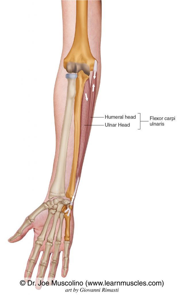 The flexor carpi ulnaris on the right side of the body. The flexor carpi ulnaris has two heads: humeral head and ulnar head.