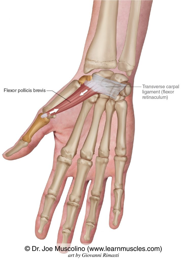 The flexor pollicis brevis of the intrinsic muscles of the hand. The transverse carpal ligament (flexor retinaculum) has been drawn in.