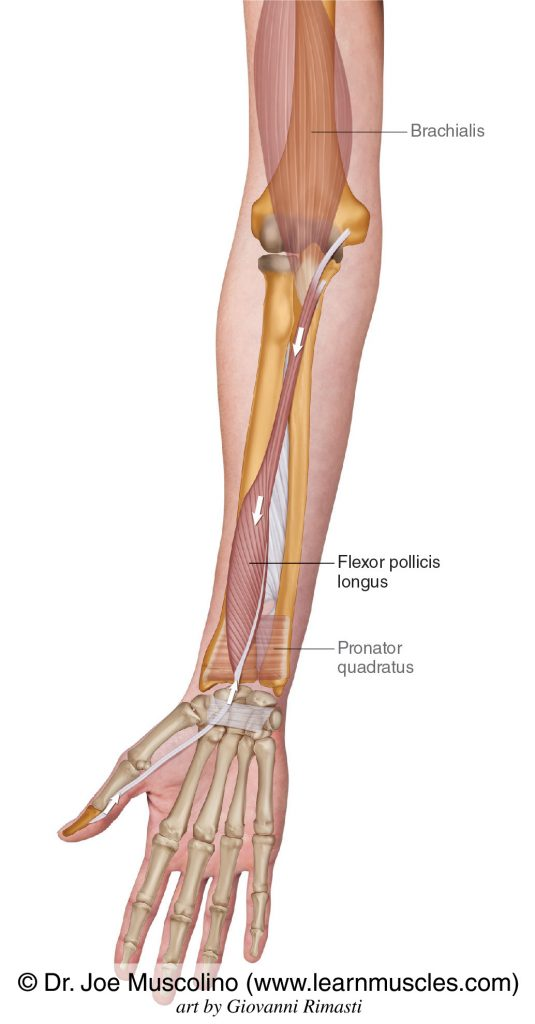 Flexor pollicis longus is seen. The pronator quadratus and brachialis have been ghosted in.