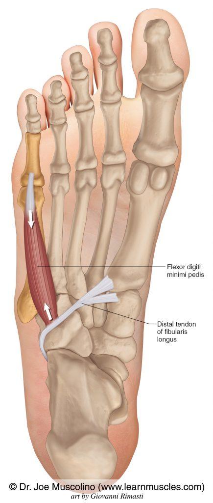 The flexor digiti minimi on the right side of the body.