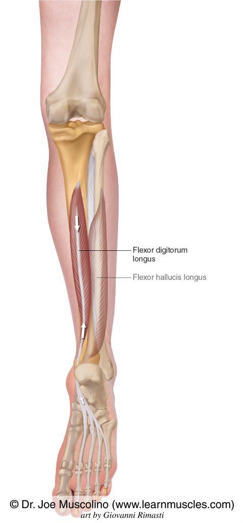 The extensor digitorum longus of the deep posterior compartment of the (lower) leg. The flexor hallucis longus has been ghosted in.