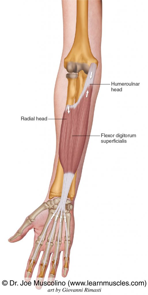 The flexor digitorum superficialis is seen. The flexor digitorum superficialis has two heads: humeroulnar head and radial head.