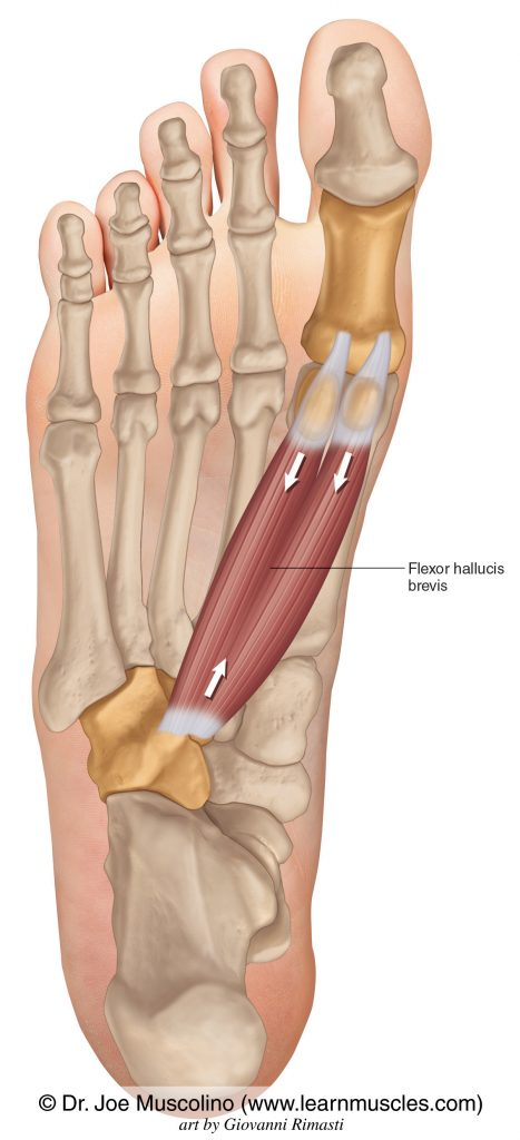 The flexor hallucis brevis of the foot on the right side of the body.