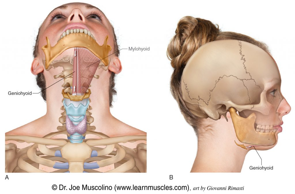 Anterior and right lateral views of the geniohyoid of the suprahyoid group. The mylohyoid (also of the suprahyoid group) has been ghosted into the anterior view on the left side.