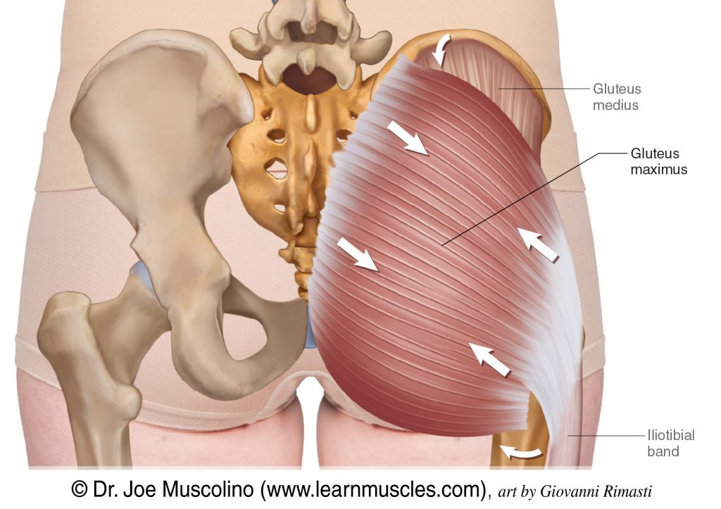 The gluteus maximus. The gluteus medius has been ghosted in.