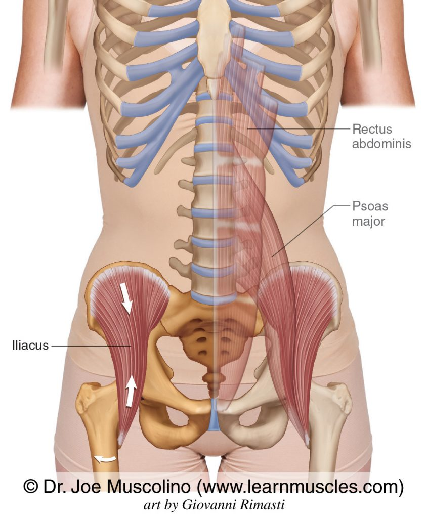 The iliopsoas is actually two muscles that attach together onto the lesser trochanter of the femur: the iliacus and the psoas major. The rectus abdominis has also been ghosted into this figure.