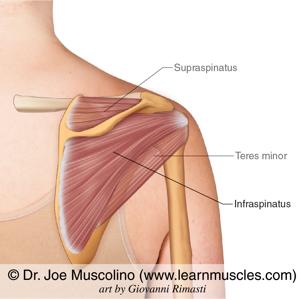 The infraspinatus of the rotator cuff group. The supraspinatus and teres minor have been ghosted in.