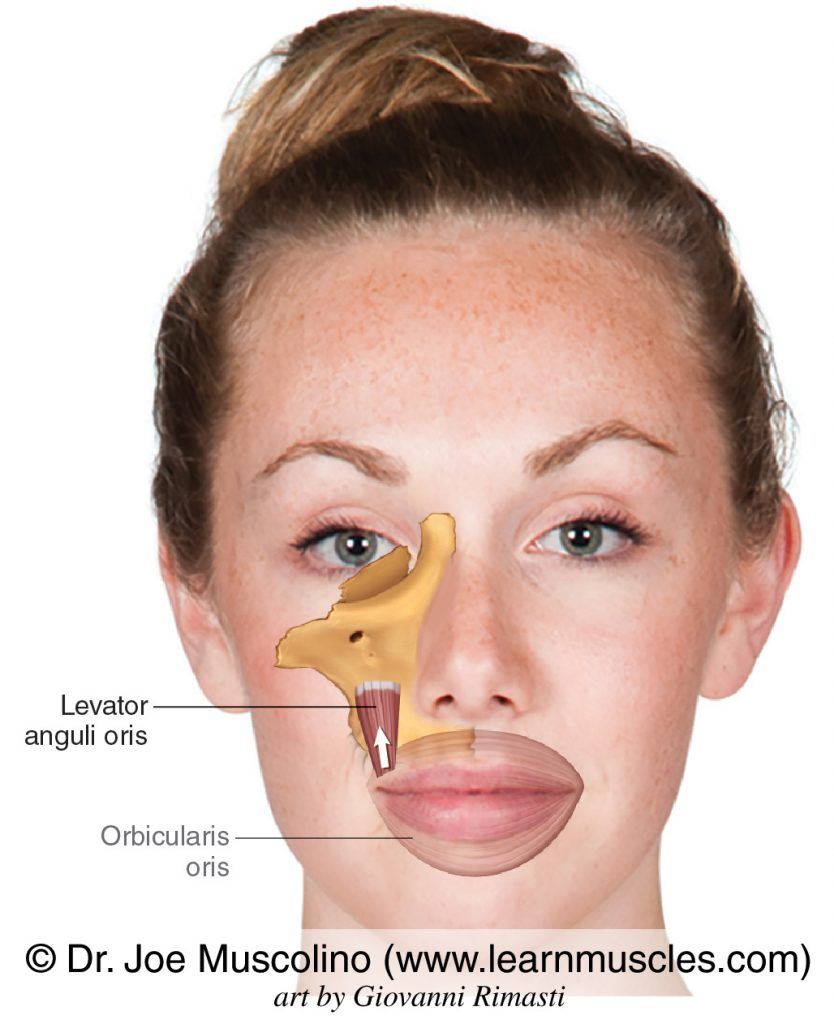 The levator anguli oris muscle of facial expression. The orbicularis oris has been ghosted in.