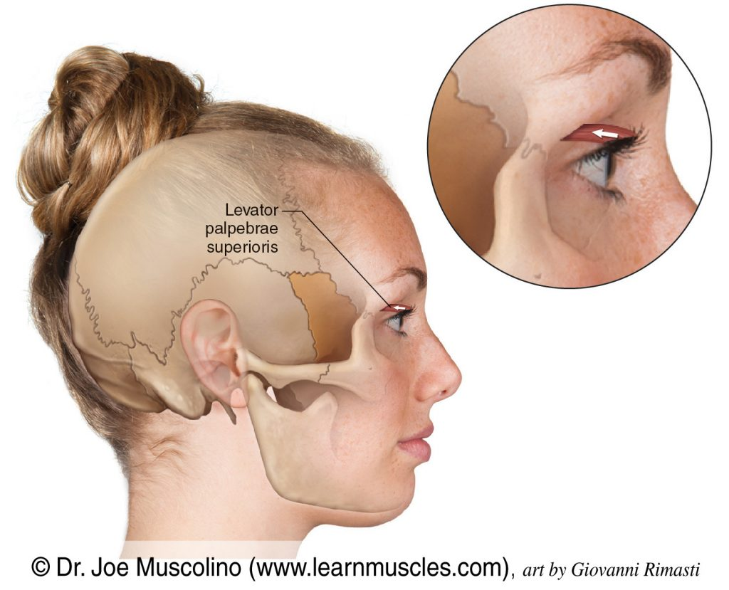 The levator palpebrae superioris, a muscle of facial expression, on the right side of the body.