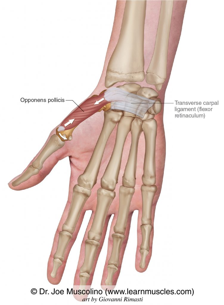 The opponens pollicis intrinsic muscle of the hand. The transverse carpal ligament (flexor retinaculum) has been drawn in.