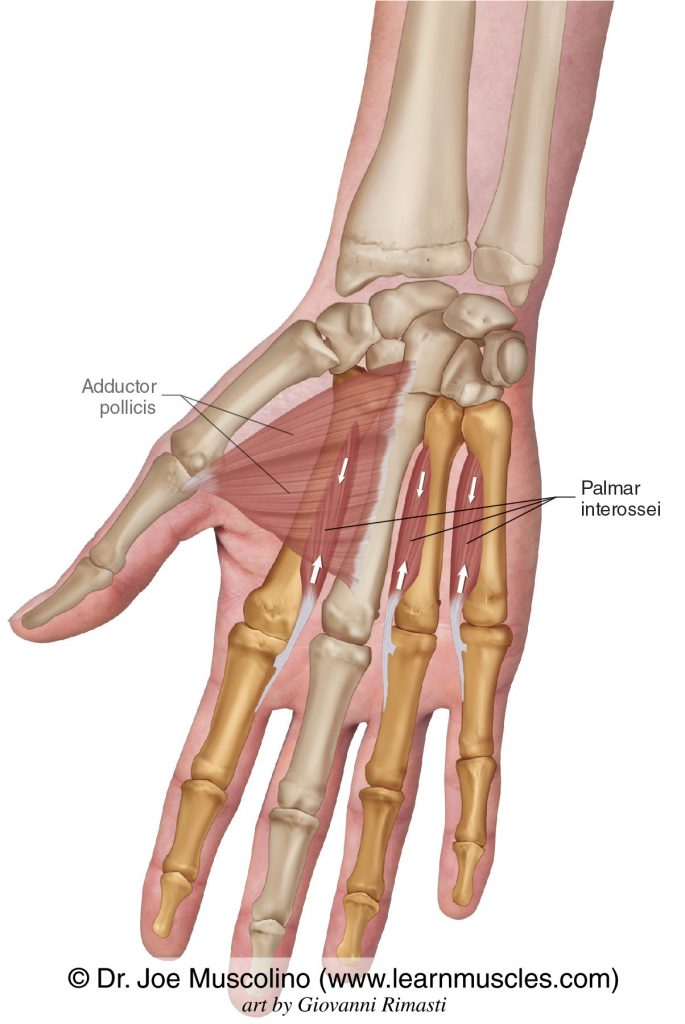 The palmar interossei intrinsic muscles of the hand. The adductor pollicis has been ghosted in.