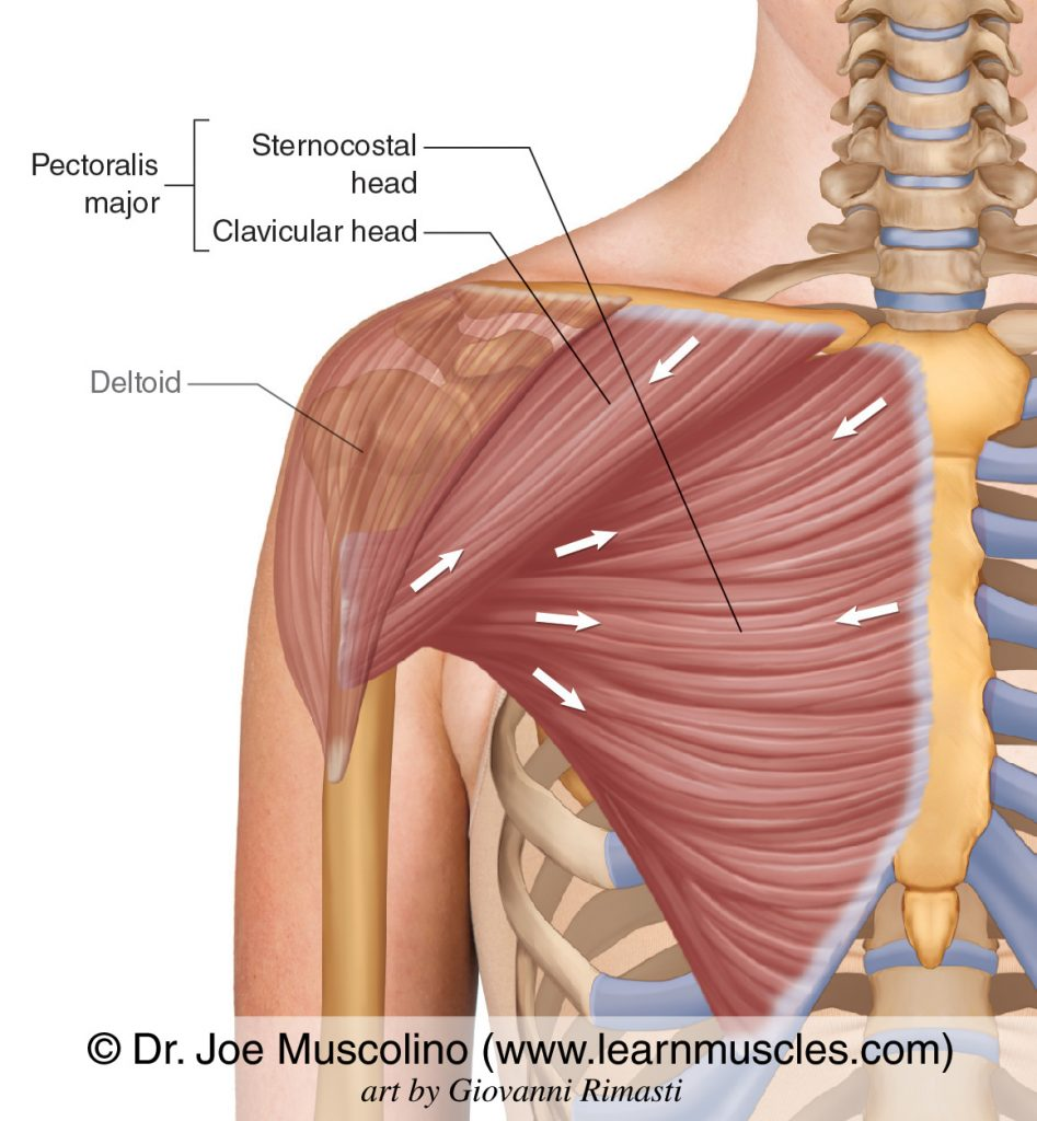 The pectoralis major has two heads: sternocostal head and clavicular head. The deltoid has been ghosted in.