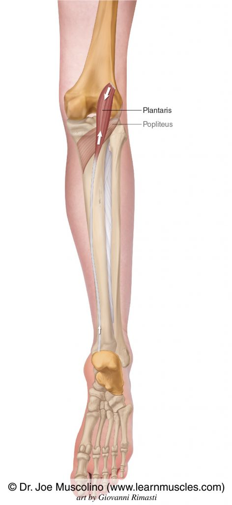 The plantaris of the superficial posterior compartment of the (lower) leg. The popliteus has been ghosted in.