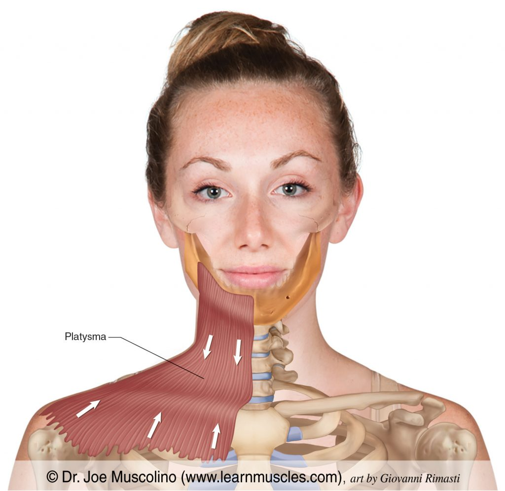 The platysma is a superficial fascial muscle in the upper chest, neck, and lower face.