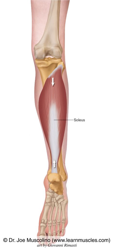The soleus of the superficial posterior compartment of the (lower) leg.