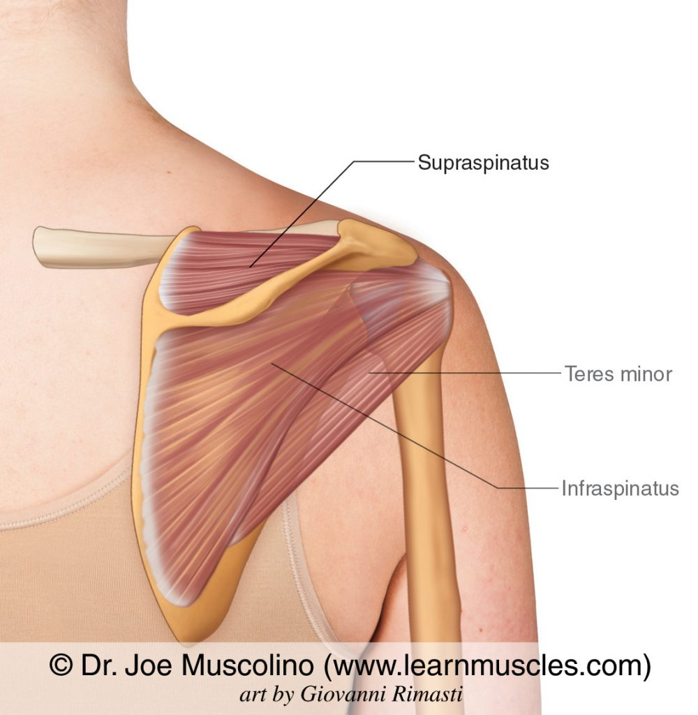 The supraspinatus of the rotator cuff group. The infraspinatus and teres minor have been ghosted in.