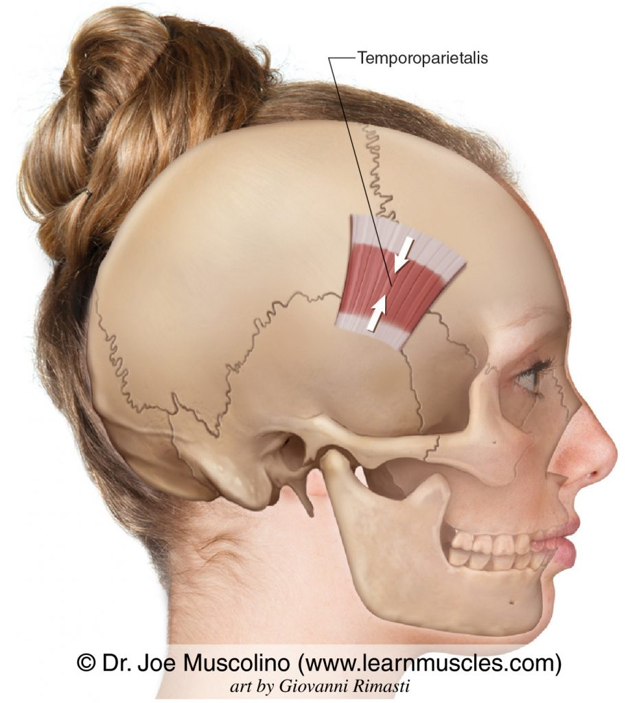 The temporoparietalis muscle of the scalp.