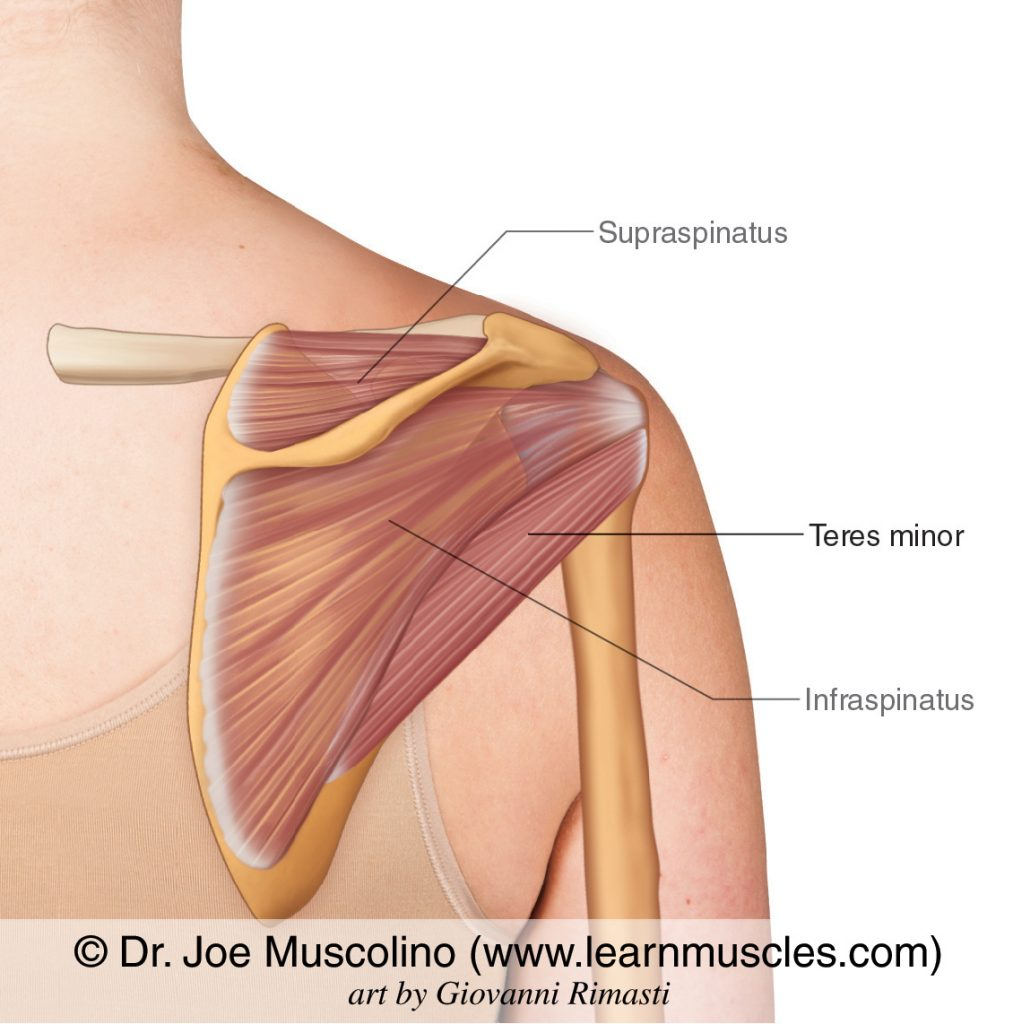 The teres minor of the rotator cuff group. The supraspinatus and infraspinatus have been ghosted in.