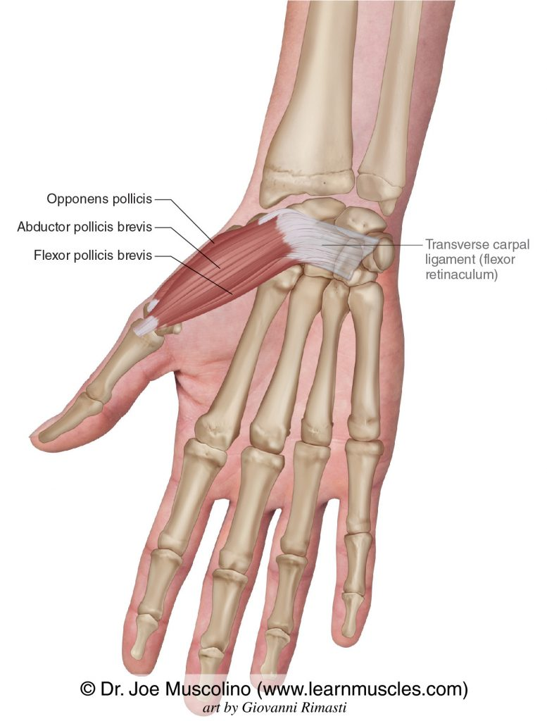 The thenar eminence group of intrinsic muscles of the hand: abductor pollicis brevis, flexor pollicis brevis, and opponens pollicis. The transverse carpal ligament (flexor retinaculum) has been drawn in.