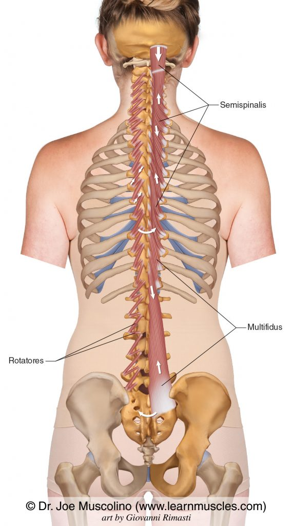 The transversospinalis group is composed of the semispinalis, multifidus, and rotatores.