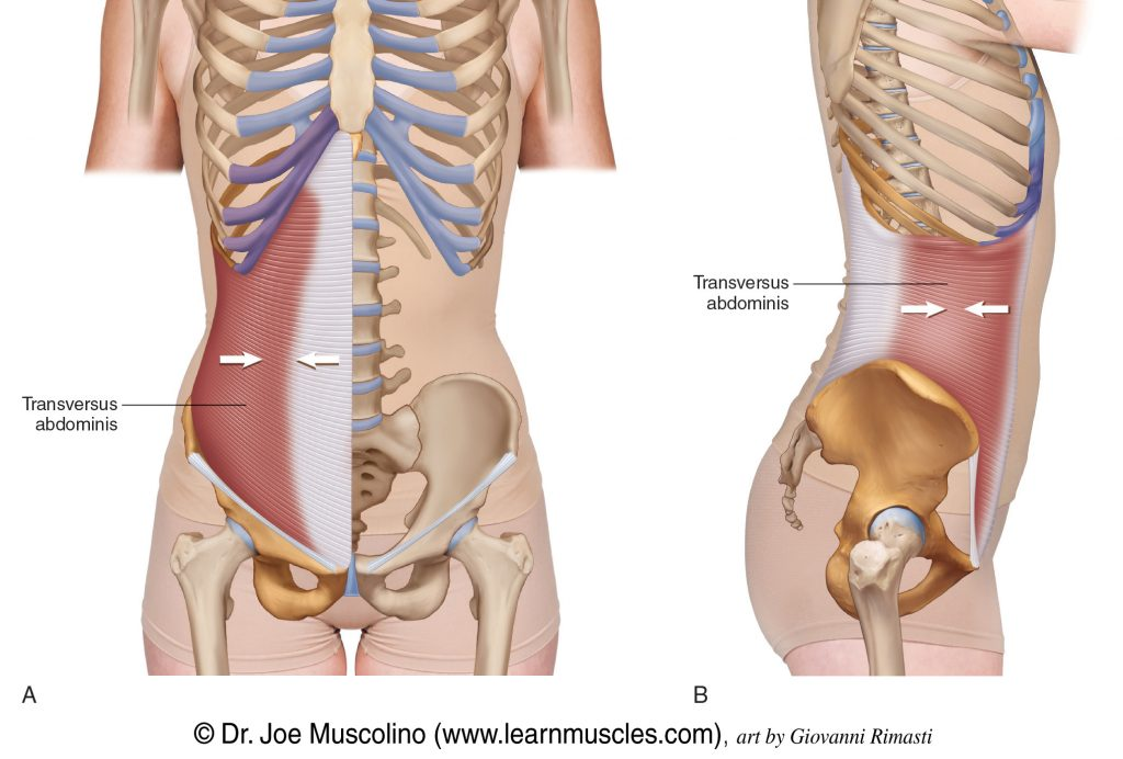 Anterior and right lateral views of the transversus abdominis.