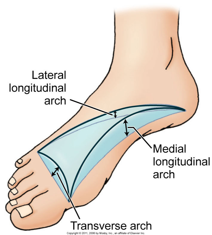 Arch structure of the foot. Permission Dr. Joe Muscolino. Kinesiology - The Skeletal System and Muscle Function, 3rd edition (Elsevier, 2017)