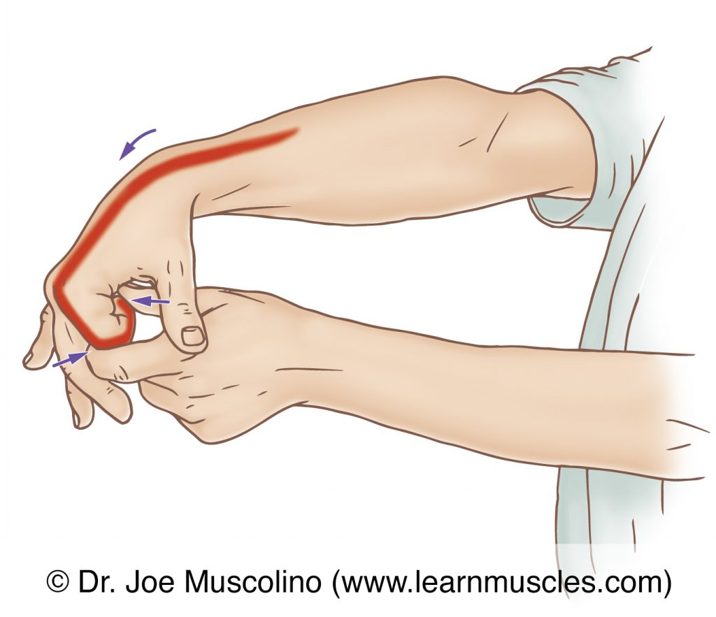 The extensor indicis is stretched with flexion of the index finger at the metacarpophalangeal and proximal and distal interphalangeal joints, and flexion of the wrist joint with extension of the elbow joint.
