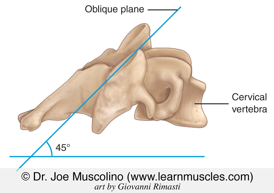 The plane of the facets joints of the cervical spine. Right lateral view.
