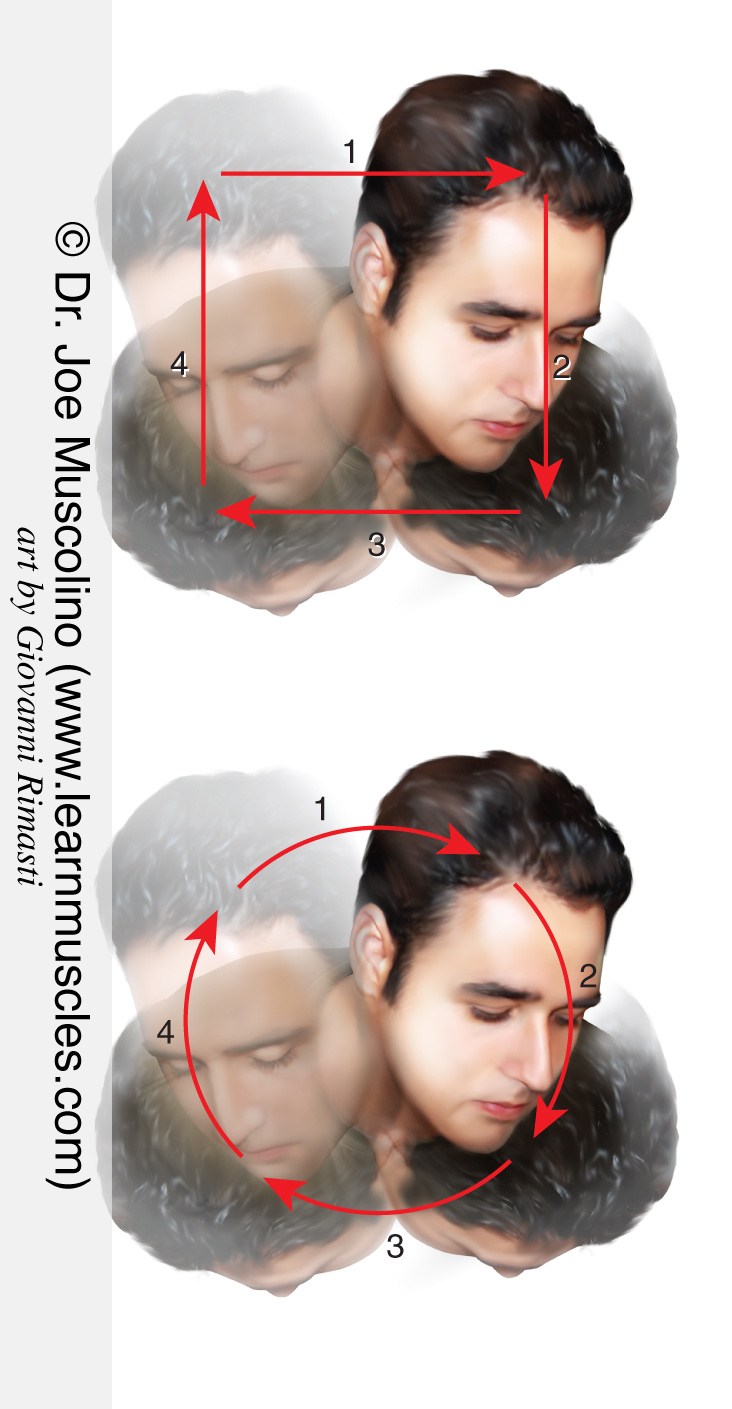Circumduction of the cervical spine. Here we see the sequence of joint actions that comprise circumduction: left lateral flexion, flexion, right lateral flexion, and extension. Permission Dr. Joe Muscolino (www.learnmuscles.com).