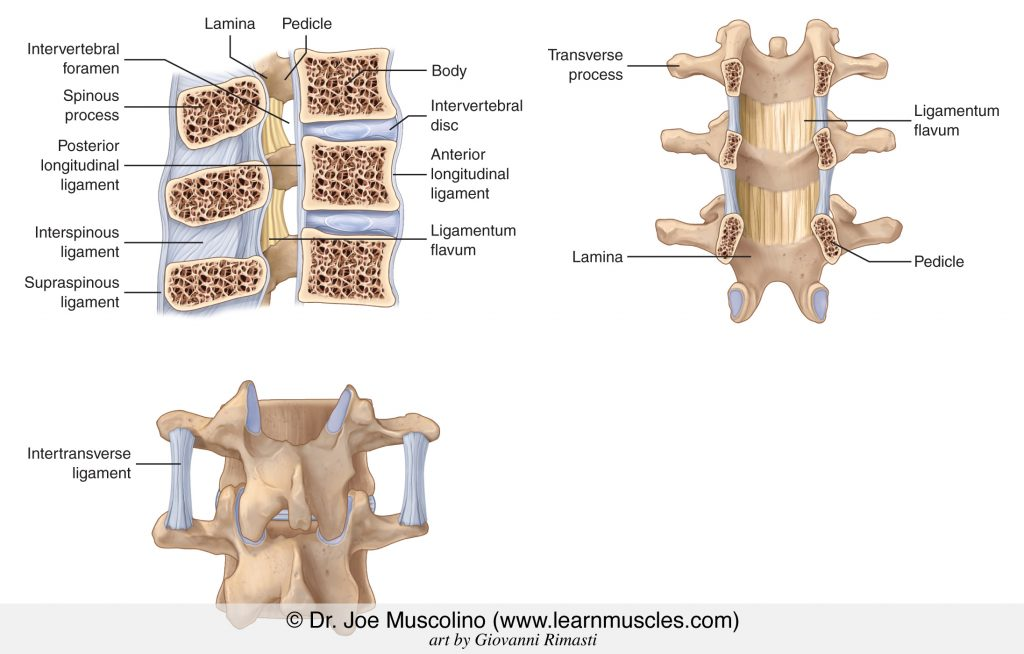Ligaments of the spine. Top left, a right lateral view of a sagittal-plane cross-section. Top right, an anterior view with the bodies of the vertebra removed. Bottom, a posterior view. Permission Dr. Joe Muscolino (www.learnmuscles.com).